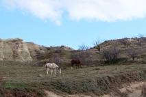 Horses in Cappadocia