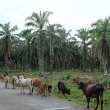 Kebun sawit dan ternak desa
